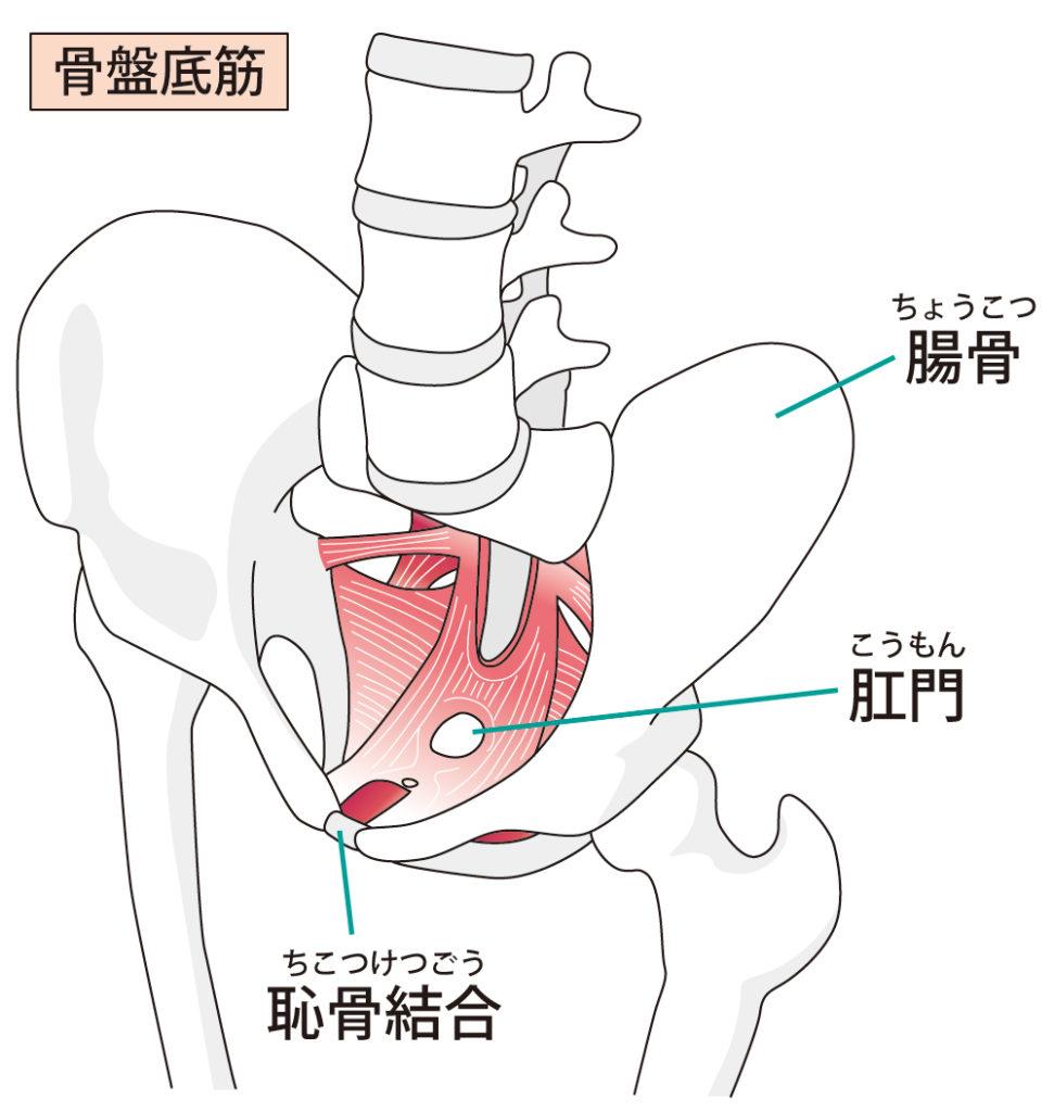 骨盤底筋のイラスト