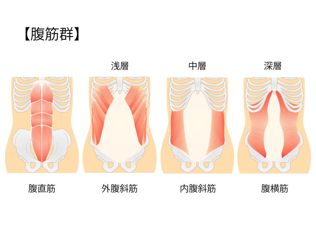 腹筋群のイラスト