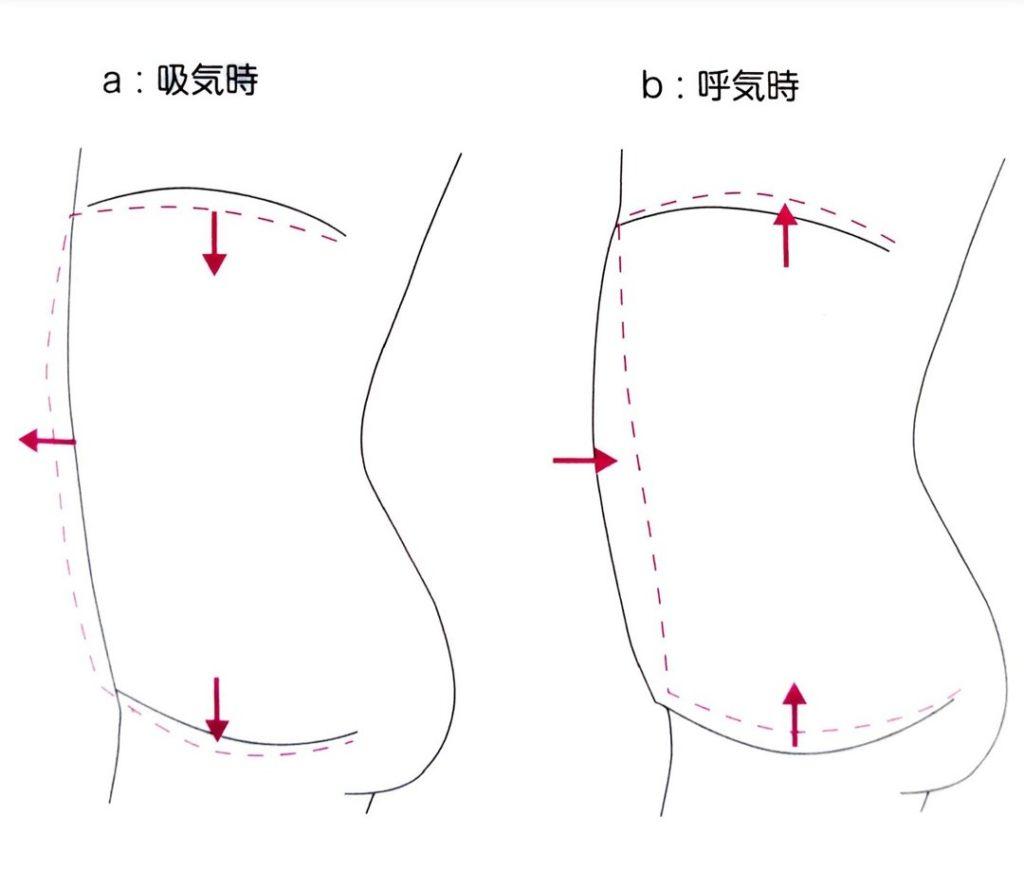 横隔膜と骨盤底筋の動き