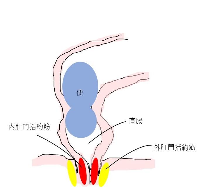 排便反射と肛門括約筋